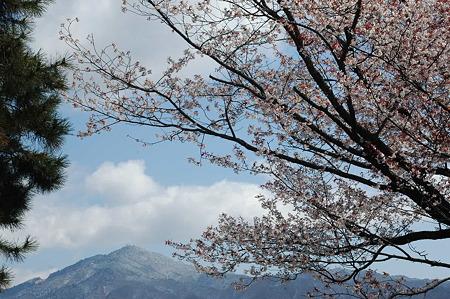 満開の山桜と雪の比叡山