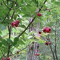 たくさんぶら下がった赤い実。ツリバナ(吊花) IMG_5032