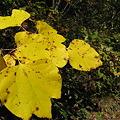 葉の形が面白い木の葉 IMG_5376