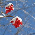 Photos: 白雪と赤い実