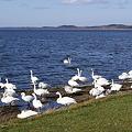 写真: クッチャロ湖の鳥たち