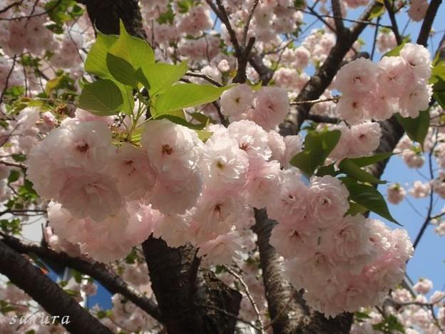 Photos: 里桜 満開