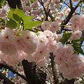 里桜 満開