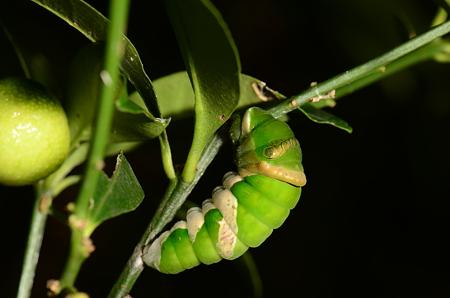 アゲハチョウ科 ナガサキアゲハ