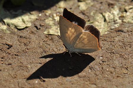 シジミチョウ科 ウラギンシジミ♀