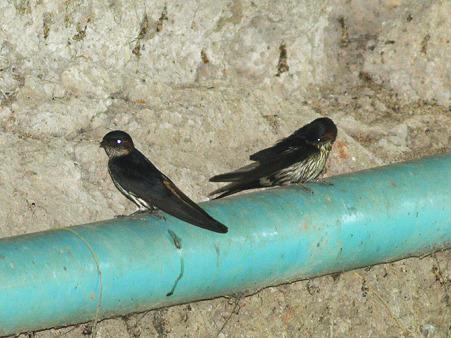 オオコシアカツバメ(Striated Swallow) P1130988_R2