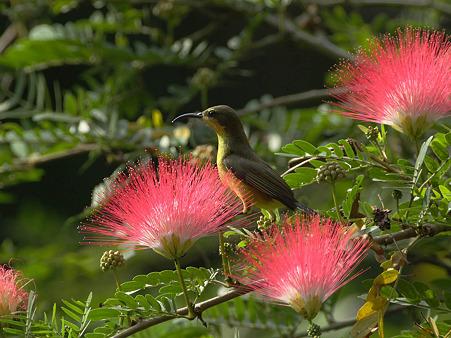 キバラタイヨウチョウ(Olive-backed Sunbird) IMG_1437_R