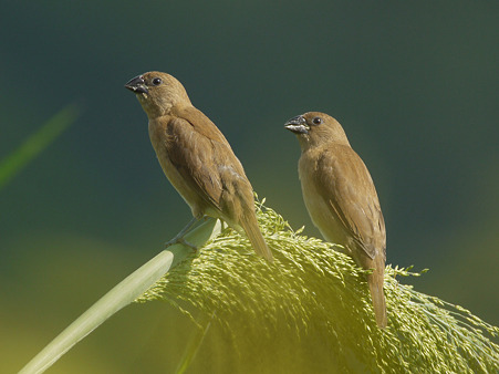 シマキンバラ(若)(Scaly-breasted Munia) P1240902_R