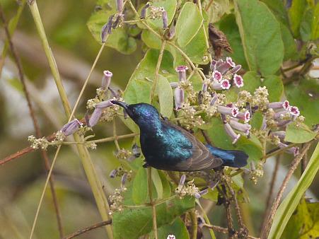 ムラサキタイヨウチョウ(Purple Sunbird) P1220659R