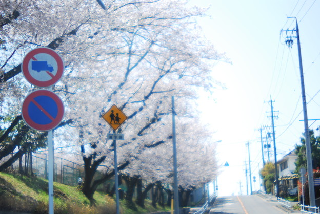Like a stage drama, the scene of cherry blossoms school zone.