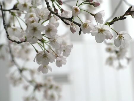 2010.03.28 秋葉原 桜(3/3)