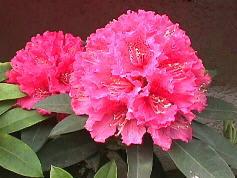 写真: シャクナゲ・石楠花