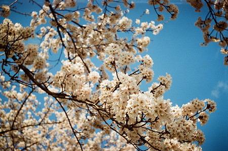 Cherry_blossom04162011smena01