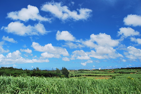 砂糖きび畑の風景