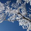 2011.11.22 箕冠(ミカブリ)山の霧氷