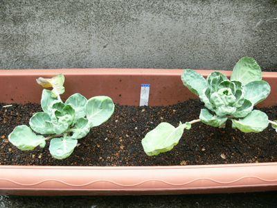 芽キャベツ植えました