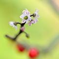 ウメモドキ花