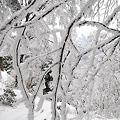 写真: 雨氷に樹氷?2