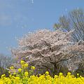 櫻と菜の花とシャボン玉