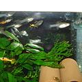 20101014 41cm水槽のエンドラーズ