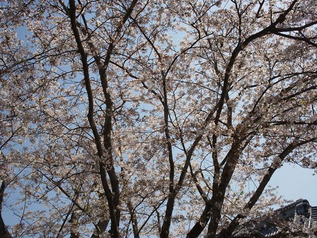 桜の陽射し