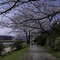 Photos: 鴨川、桜まみれ05