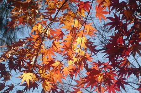 秋を惜しむもみじー6