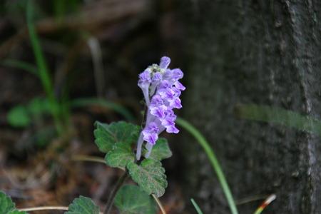 タツナミソウ(紫)