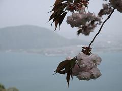 八重桜と琵琶湖 奥琵琶湖パークウェイ展望台から