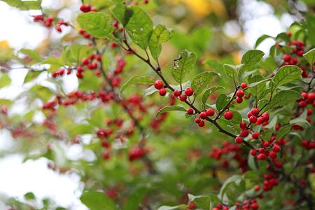 秋の木の実