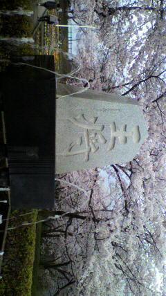 天童舞鶴山公園の桜です。王...