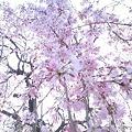 Photos: 桜咲くころ