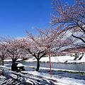 写真: 釈迦堂川桜・青空と雪のコラボ