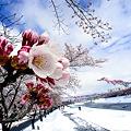 写真: 桜・雪・青空・鯉のぼりのスペシャルコラボ!