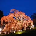 写真: 日本三大桜・三春滝桜ライトアップin2010