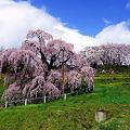 写真: 日本三大桜・三春滝桜の満開Ver