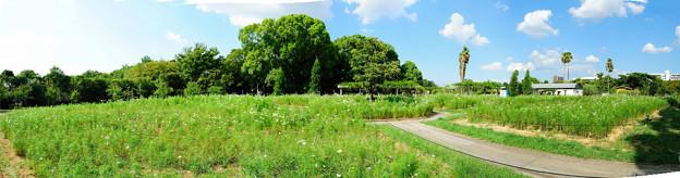 コスモス畑パノラマ1