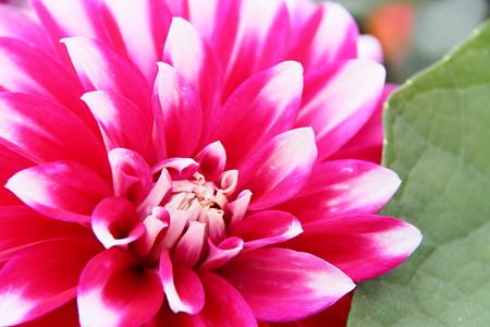 豪華なダリアの花