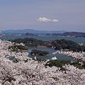 松島湾桜の季節