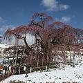 滝桜雪化粧