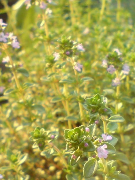 Photos: Lemon Thyme
