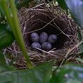 Photos: 小鳥の巣