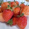 Photos: 苺の収穫