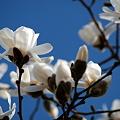 Magnolias 4-7-10