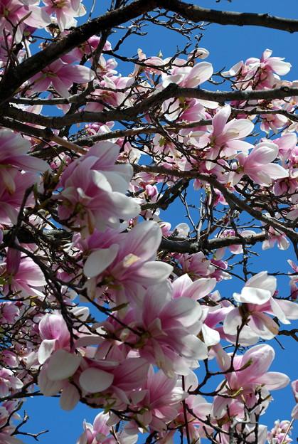 Mulan Magnolias in the Wind