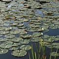 写真: Water Lily Pads
