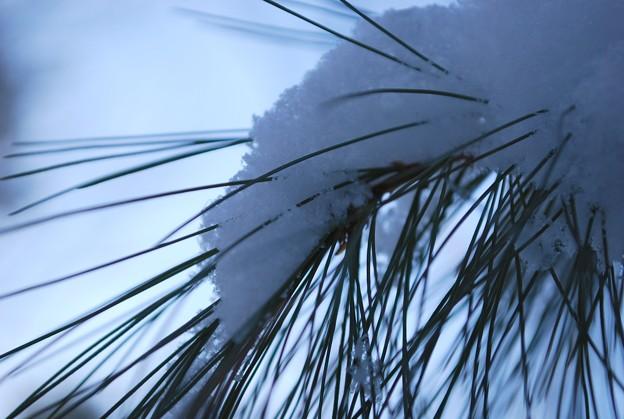 写真: The Pale Snow on the Pine