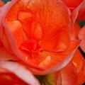 Rieger Begonias in Orange