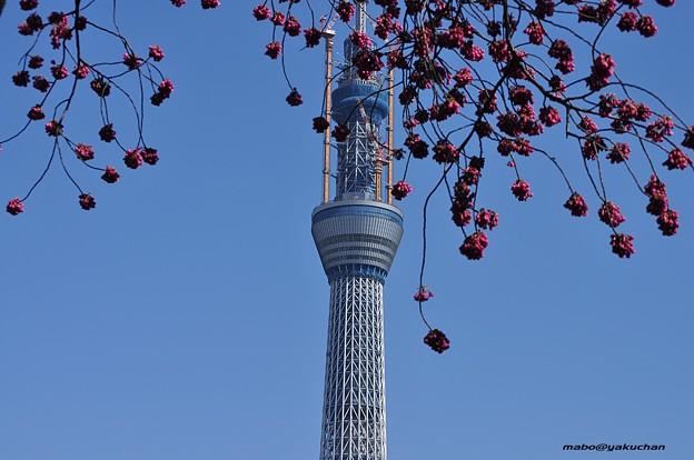 寒緋桜と東京スカイツリー634m_DSC_5377