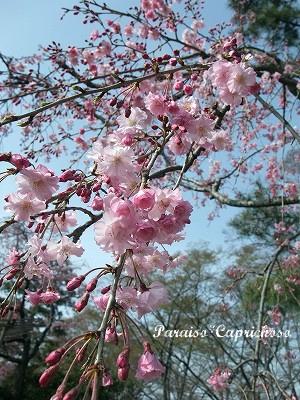 半木の道の枝垂れ桜1